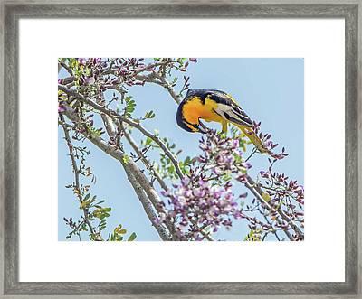 Bullocks Oriole 8016 Framed Print by Tam Ryan