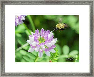 Bumble Bee Pollinating A Flower Framed Print