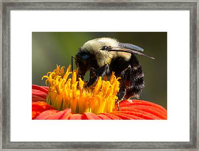 Framed Print featuring the photograph Bumble Bee by Willard Killough III