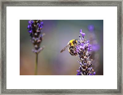 Bumblebee And Lavender Framed Print by Nailia Schwarz