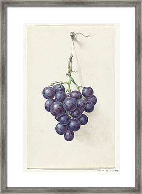 Bunch Of Blue Grapes Framed Print by Jean Bernard