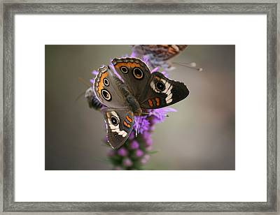 Buckeye Butterfly Framed Print by Cathy Harper