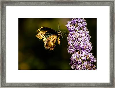 Butterfly Framed Print by Jay Stockhaus
