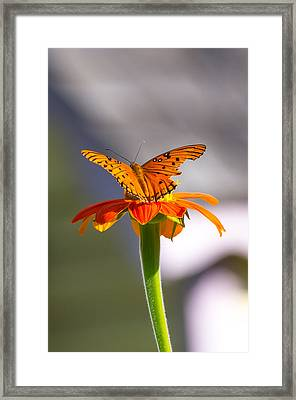 Framed Print featuring the photograph Butterfly On Flower by Willard Killough III