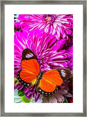 Butterfly On Pink Mums Framed Print