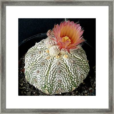 Cactus Flower 4 Framed Print