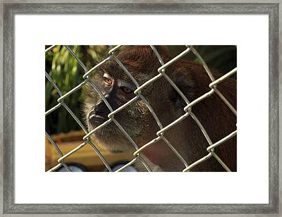 Caged Monkey Framed Print
