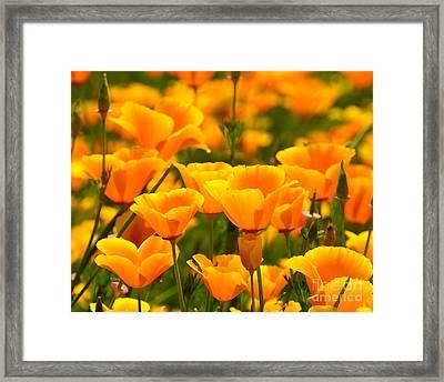 California Poppies Framed Print by Patrick Witz