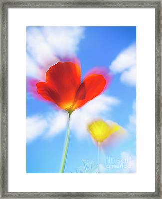 California Poppies Framed Print by Veikko Suikkanen