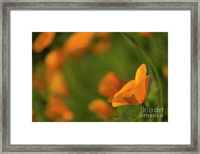 California Poppy Framed Print by Veikko Suikkanen