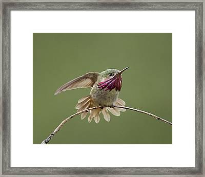 Calliope Hummingbird Framed Print by Doug Herr