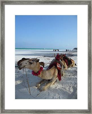 Camel On Beach Kenya Wedding Framed Print