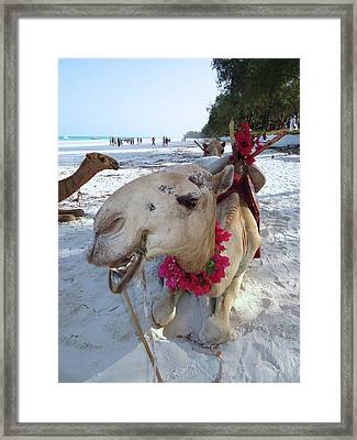Camel On Beach Kenya Wedding3 Framed Print