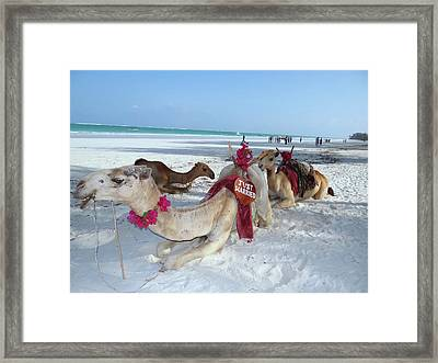 Camel On Beach Kenya Wedding4 Framed Print
