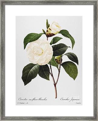 Camellia, 1833 Framed Print