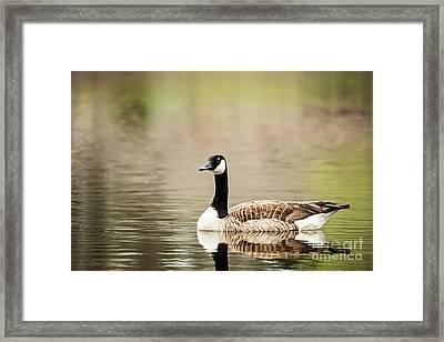 Canada Goose Framed Print by Scott Pellegrin