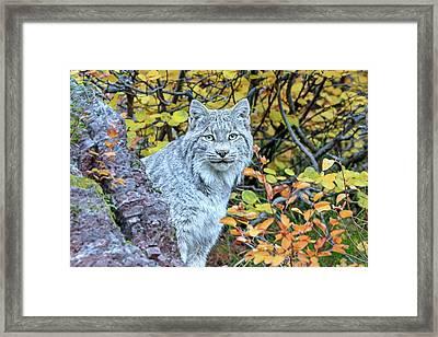 Canada Lynx Framed Print by Jack Bell