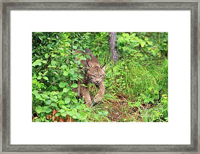 Canada Lynx Framed Print by Louise Heusinkveld