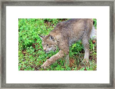 Canada Lynx Lynx Canadensis Framed Print by Louise Heusinkveld