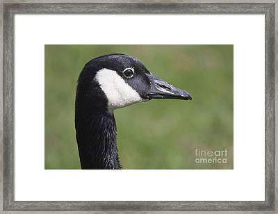 Canadian Goose Framed Print by Twenty Two North Photography