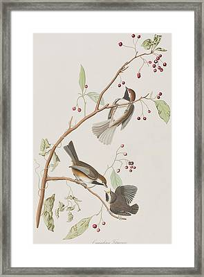 Canadian Titmouse Framed Print