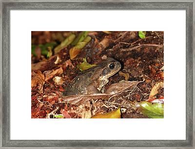 Cane Toad Framed Print