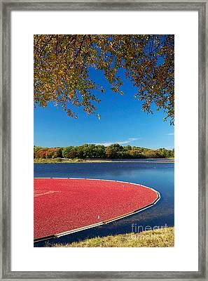 Cape Cod Cranberry Bog Framed Print by Matt Suess