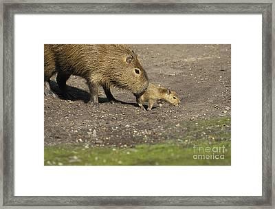 Capybara Hydrochoerus Hydrochaeris Framed Print by Gerard Lacz