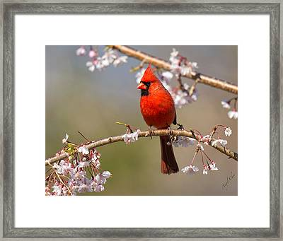 Framed Print featuring the photograph Cardinal In Cherry by Angel Cher