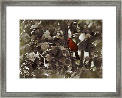Very Red Cardinal Framed Print by JAMART Photography