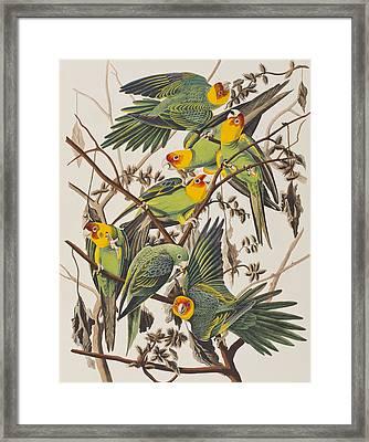 Carolina Parrot Framed Print by John James Audubon