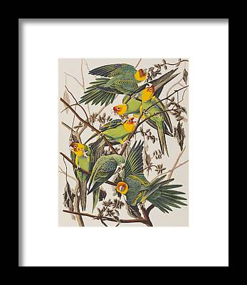 Parakeet Framed Prints