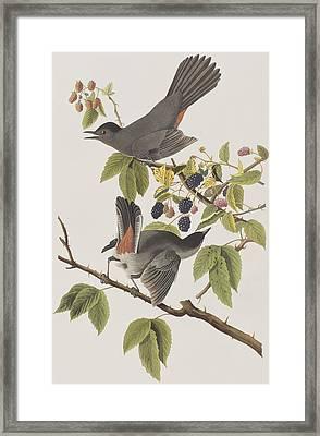 Cat Bird Framed Print by John James Audubon