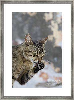 Cat Grooming In Greece Framed Print by Jean-Louis Klein & Marie-Luce Hubert