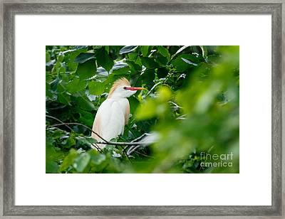 Cattle Egret At Rest Framed Print