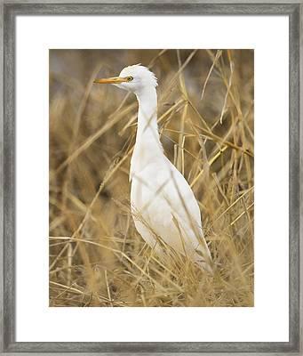 Cattle Egret Framed Print by Doug Herr