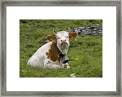 Cattle, Switzerland Framed Print by Bob Gibbons