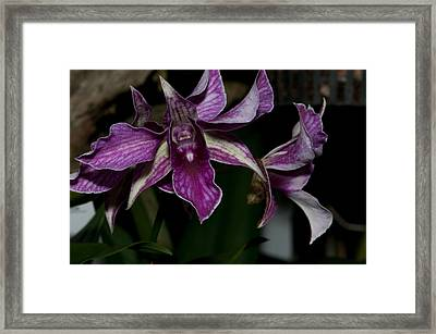 Cattleya Style Orchids Framed Print by Carol Ailles