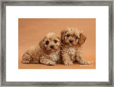 Cavapoo Pups Framed Print by Mark Taylor