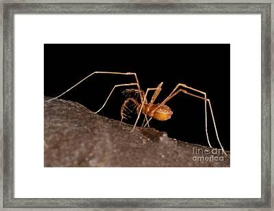 Cave Harvestman Framed Print by Dant� Fenolio