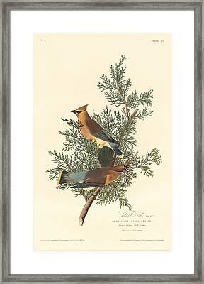 Cedar Bird Framed Print by Rob Dreyer