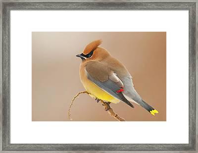 Cedar Wax Wing Framed Print