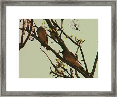 Cedar Waxing Framed Print by Nereida Slesarchik Cedeno Wilcoxon