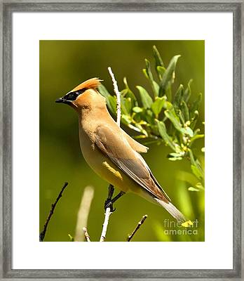 Cedar Waxwing Closeup Framed Print by Adam Jewell