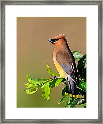 Cedar Waxwing Framed Print by Rodney Campbell