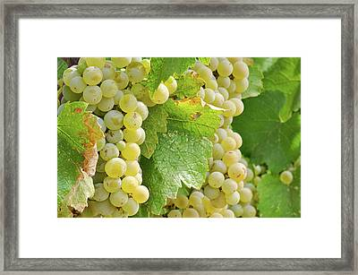 Chardonnay Grapes Close Up Framed Print by Brandon Bourdages