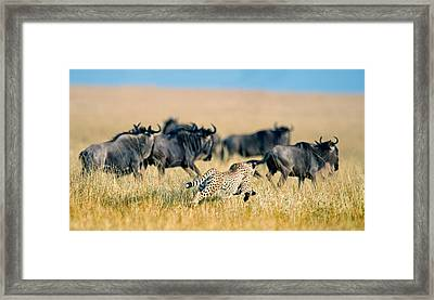 Cheetah Acinonyx Jubatus Chasing Framed Print by Panoramic Images
