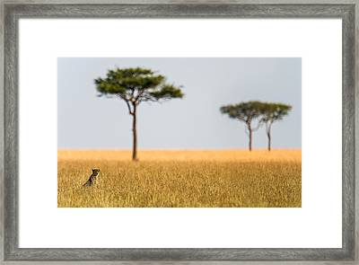 Cheetah Acinonyx Jubatus In A Field Framed Print