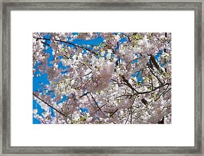 Cherry Blossom Framed Print by Sebastian Musial