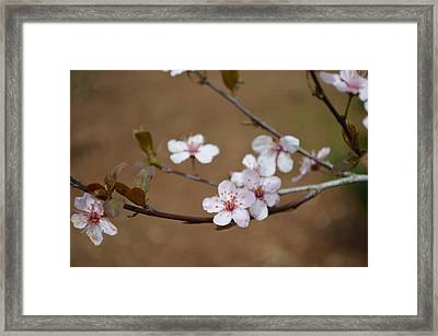 Framed Print featuring the photograph Cherry Blossoms by Linda Geiger